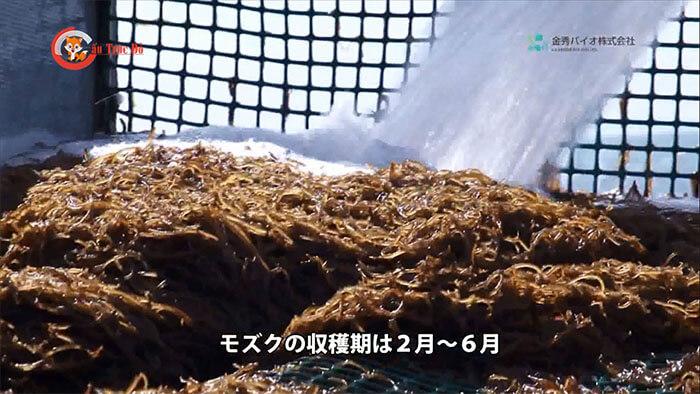 thu-hoach-mozuku-tuoi-0502